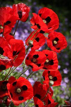 """""""June Poppies"""" by George Kirk"""