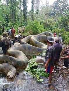 A photo of a giant anaconda allegedly shows the world's largest snake, measuring over 134 feet in length. As expected, it's fake.