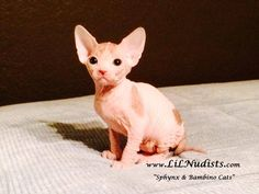 Sphynx Boy Kitten