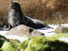 Seehund auf der Otago Halbinsel (Seal, Otago Peninsula)