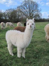 Animals And Pets, Baby Animals, Cute Animals, Llama Alpaca, Sloth, Goats, Giraffe, Panda, Wildlife