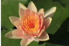 Aquatic plants: Orange Hardy water lilies: Comanche - http://sunlandwatergardens.com/swg_products/aquatic-plants-orange-hardy-water-lilies-comanche/