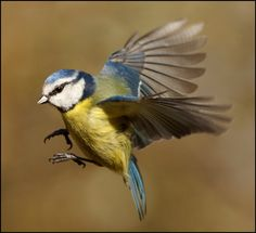 In-flight Blue Tit by Mike Turtle on 500px