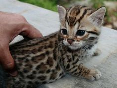 Bengal kitty - so darn cute
