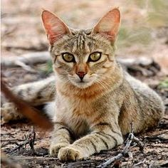 """""""Wild cats are nocturnal and prey on rodents, birds, reptiles and invertebrates. The female holds a territory and does not get any help from males in rearing her litter."""" Basically, Female African Wild Cats = Bad ass bitch (Queen actually) in Charge. Small Wild Cats, Big Cats, Cool Cats, African Wild Cat, Wild Cat Species, Egyptian Mau, Wild Dogs, African Animals, Domestic Cat"""