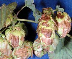 """Newport Beer Hops Vine - Humulus - Grow your own Beer! - 4"""""""" Pot"""