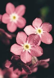Myosotis sylvatica, 'Rosylva' Pink forget me not, underneath daffodils