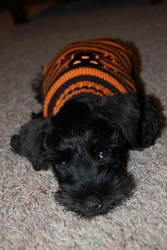A sweet and adorable mini schnauzer puppy❤️