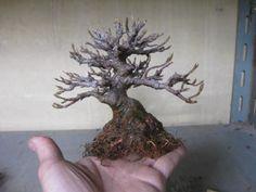 mame bonsai Acer