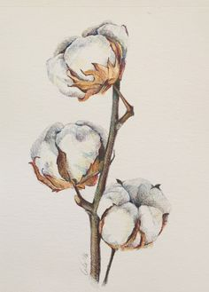 Cotton plant illustration. Pencil color