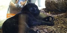 Petition :Demand Dallas World Aquarium release their Black Panther to a Sanctuary
