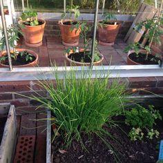 Taget utifrån mina odlingskragar och in i växthuset