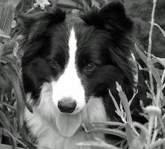 A beautiful border collie. One of the smartest dogs around. They'll help me handle the sheep. Border Collie Rescue, Border Collies, Collie Mix, Rough Collie, Collie Breeds, Dog Breeds, Cat Paws, Dog Cat, Smartest Dogs