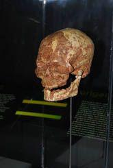 Cráneo de los Yacimientos de Atapuerca