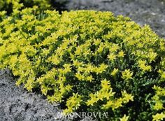 Goldmoss Sedum - Sedum acre. Classic evergreen perennial groundcover is covered with showy yellow flowers in spring and summer. A perfect choice for the rock garden, between stepping stones or on dry walls. Works well in containers and hanging baskets. Attracts butterflies. Deer resistant. Moderate grower to 3 in. tall, 10 in. wide. Full Sun