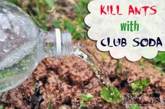 easy solution to kill ant piles club soda, pest control, Club soda works to kill ant piles So easy cheap and non toxic