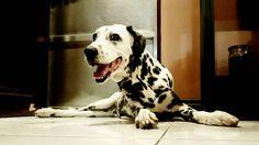 "Shabby on Instagram: ""Sexy legs ❤ #dalmatian #dogs #cutenessoverload #dalmatiansofinstagram #dogsofinstagram"""