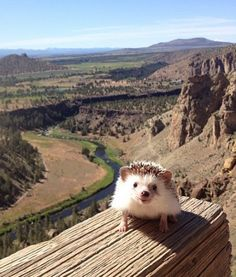 Biddy the Hedgehog at Smith Rock State Park.