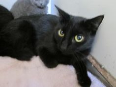 Zenda is an adoptable Domestic Short Hair Cat in Beacon, NY. Hi, My name is Zenda. I had some babies under a nice ladies porch, and came around howling for some food! She found ALL of my babies, and b...