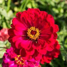 Zinnia Seeds | Buy Zinnia Seed Packets or in Bulk | Grow Zinnias - EdenBrothers.com