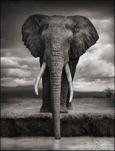 ELEPHANT DRINKING, AMBOSELI, 2007 Nick Brandt