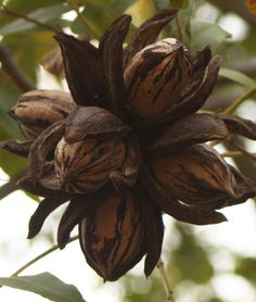 Pecans ready for harvest