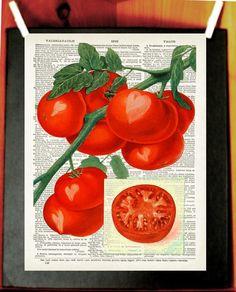 Tomato, Love: Vintage Botanical Illustration, Fruit, Vinage Dictionary Art Print