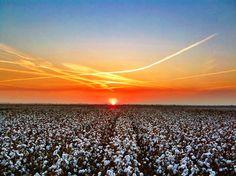 Mississippi Delta Cotton at Sunset - Bourbon, Mississippi - Order prints from www.flatoutdelta.com - © 2013 John Montfort Jones