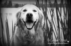 Meant To Be A Black n White Photo - Sugar The Golden Retriever