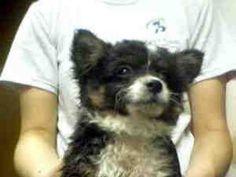 A3206764 is an adoptable Chihuahua Dog in Phoenix, AZ.  ...