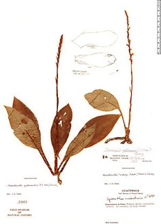 Image result for Mesadenella petenensis