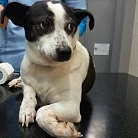 Oakton, Virginia - Terrier (Unknown Type, Small). Meet Dots, a for adoption. https://www.adoptapet.com/pet/20749297-oakton-virginia-terrier-unknown-type-small-mix