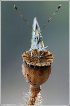 Dazed butterfly on poppy seedhead