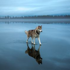 """Siberian Husky Walking On a Frozen Lake Photography By: ©Fox Grom"""
