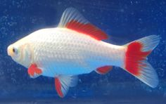 Goldfish - Sarrasa Comet