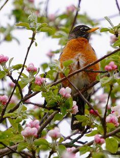 by kmARTart, via Flickr -Robin on budding tree - spring has arrived