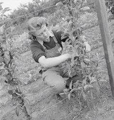 Sylvia Smith was a shorthand typist before beginning her Land Army training at the Northampton Institute of Agriculture. Here she ties beans or peas to stakes.