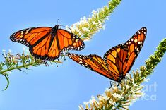 Monarch Butterflies,   Click on the image twice to see it framed and for purchase options.  Thank you for viewing my work.