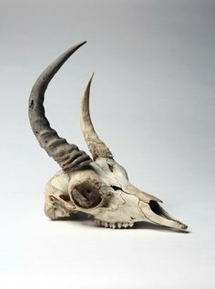 A  rare Dibitag Gazelle's skull,  Northern Somalia, found as a skull in 1971…
