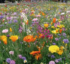 Tom-Pouce Durable 29 variétés dont 10 vivaces et 4 bisannuelles. Haut : - de 60 cm. Semis printemps / automne gestion sur 2 ans