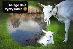 Goats, Animals, Animales, Animaux, Animais, Goat, Animal
