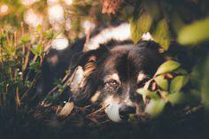 Frühjahrsmüdigkeit im Herbst Australian Shepherd, Dog Pictures, Husky, Animals, Pictures, Fall Weather, Animal Photography, Photographers, Animales