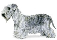 Cesky Terrier...new breed at this years Westminsters 2012 Dog Show!