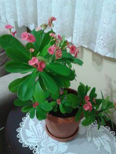 GH  Çiçeği