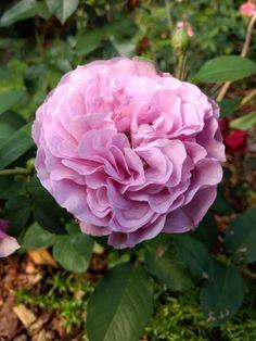 Ruusu