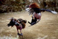 cockfighting - Поиск в Google