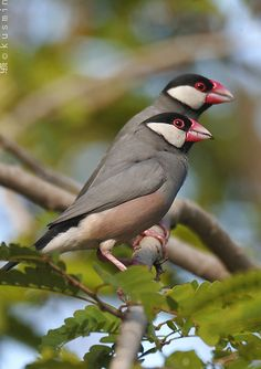 Java Sparrows are native to the Indonesian islands of Java and Bali and are introduced to the tropics worldwide including Hawaii, the Caribbean, and Madagascar.