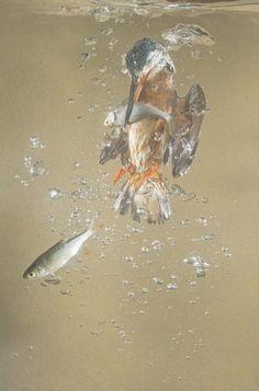 Dive-bombing kingfisher's underwater hunt caught on camera » Focusing on Wildlife