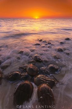 Horseshoe crabs spawning, Limulus polyphemus, Delaware Bay, New Jersey New Jersey, Jersey Girl, Frans Lanting, Delaware Bay, Horseshoe Crab, Life Is A Journey, Travel Images, Shutter Speed, Crabs