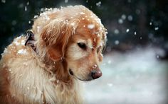 Golden retriever ~ where ever you are Scooter, I will always love you.....<3